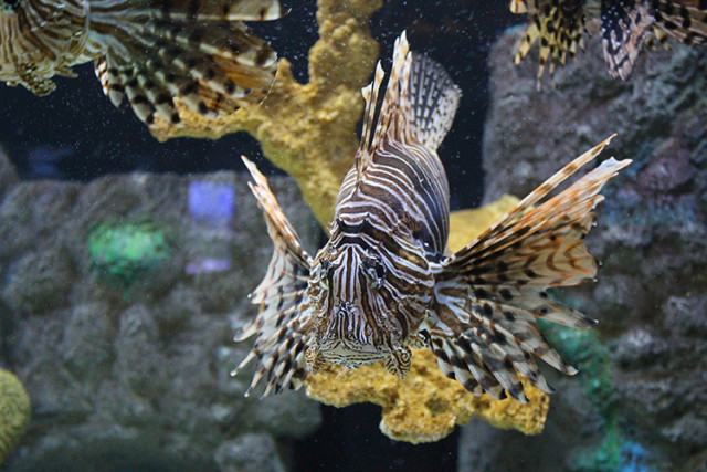 mote-lion-fish