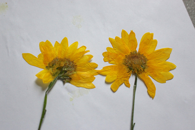 pressed-yellow-daisies