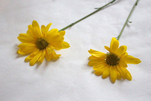 pressing-yellow-daisies-flowers