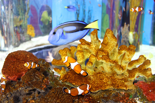 ripleys-aquarium-toronto-clown-fish-blue-tang-fish