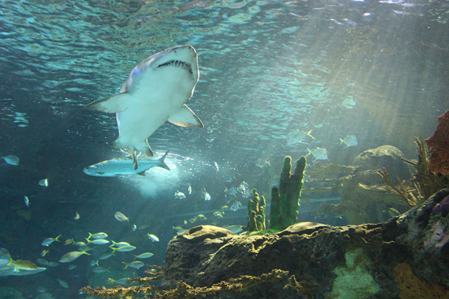 ripleys-aquarium-toronto-shark