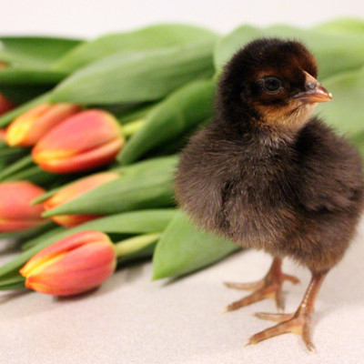 Springtime Chicks