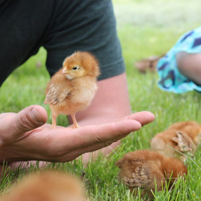 DIY Chick Brooder {Video}