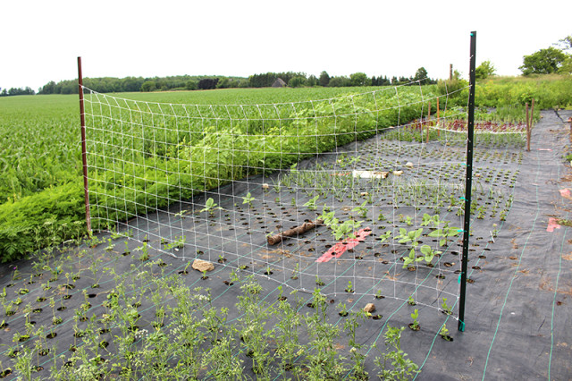sweet-pea-netting